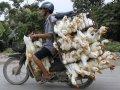 man-on-motorcycle-transporting-ducks