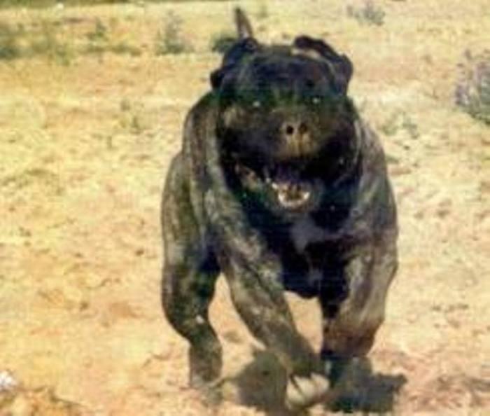 Giant Bull Mastiff Savage Hybrid Dogs —...